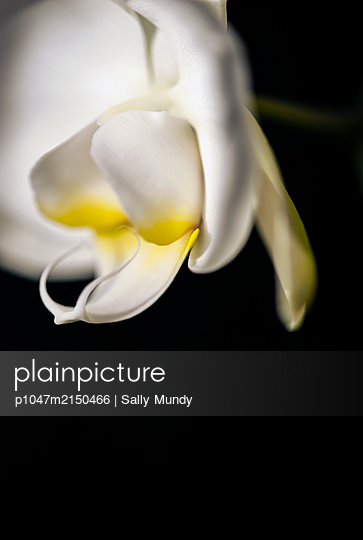 Close-up of white and yellow orchid flower against black background - p1047m2150466 by Sally Mundy