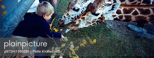 Junge füttert Giraffen im Zoo - p972m1160291 von Pelle Kronestedt