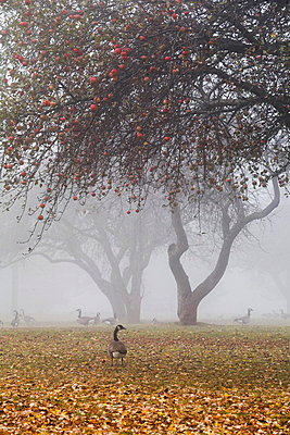 Canada geese sheltering under apple trees on a misty autumn morning; ontario canada - p442m839624 by Mary Ellen McQuay