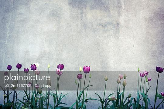Tulips against concrete wall - p312m1187705 by Dan Lepp
