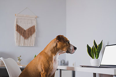 Dog looks at laptop computer screen at home desk. Working from h - p1166m2232582 by Cavan Images
