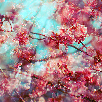 Branches and pink blossoms, multiple exposure - p1640m2245914 by Holly & John