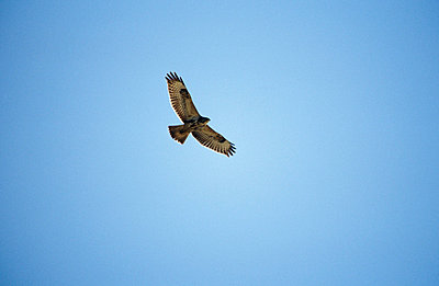 Buzzard - p2350059 by KuS