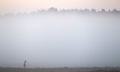 Roe deer buck standing in misty heathland - p1144m944037 by Wendy  Kreeftenberg