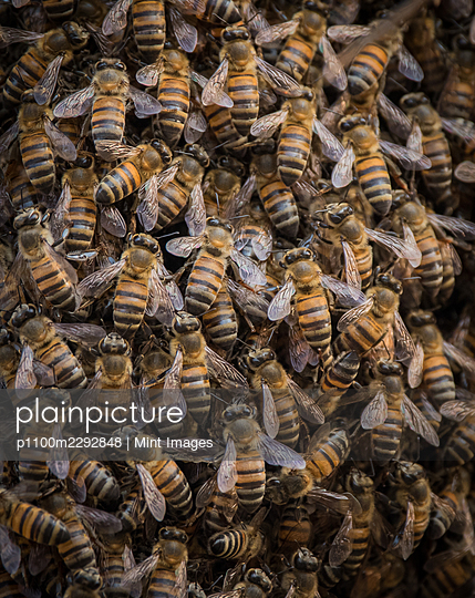 A swarm of bees, Apis mellifera scutellata, congregate together - p1100m2292848 by Mint Images