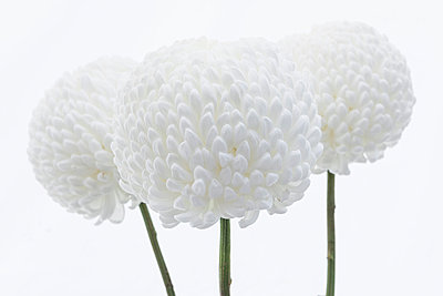 White Dahlias - p1057m1020212 by Stephen Shepherd