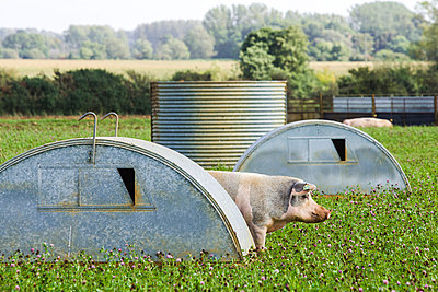 Pig - p1057m1028462 by Stephen Shepherd