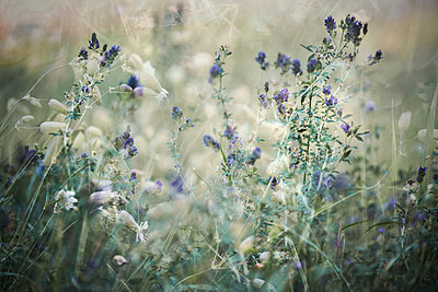Wild flowers, close-up - p1640m2242044 by Holly & John
