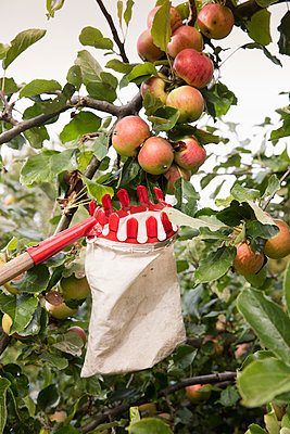 Low angle view of fruit picker below apples in orchard - p301m1196897 by Carl Smith
