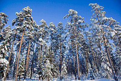 Trees in snow - p4266216f by Tuomas Marttila