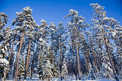 Trees in snow - p4266216f by Tuomas Marttila