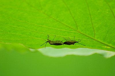 Stink Bugs Copulating - p5149807f by TOSHIAKI ONO