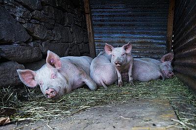Pigs - p922m2071537 by Juliette Chretien