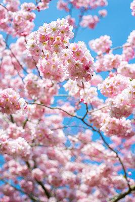 Kirschblüte - p1057m1005057 von Stephen Shepherd