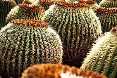 Cactus plants close-up - p851m1362485 by Lohfink