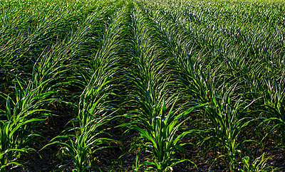 Rows of corn plants growing in a field; Rougemont, Quebec, Canada - p442m2039450 by David Chapman