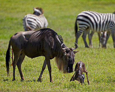 Blue wildebeest (brindled gnu) (Connochaetes taurinus) just-born calf trying to stand - p871m861614 by James Hager