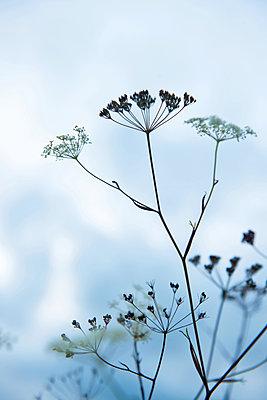 Zarte Wildblumen - p533m1556555 von Böhm Monika