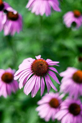 Medicinal plant, Echinacea, close-up - p947m2196633 by Cristopher Civitillo