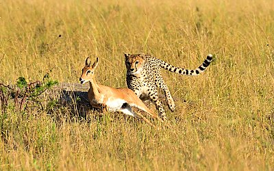 A cheetah chases down its prey - p1166m2141019 by Cavan Images
