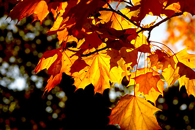 Germany, maple leaves in autumn - p300m2060802 by Thomas Jäger