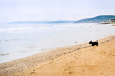 a dog looks at the sea from the beach - p1072m957311 by Francoise Hillemand