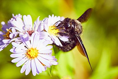 Dunkle Biene saugt Nektar aus voller lila Blüte im Sonnenschein - p1573m2152837 von Christian Bendel