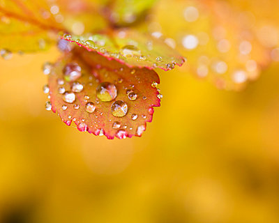 Water droplets on autumn leaves - p429m768248 by Oscar Bjarnason