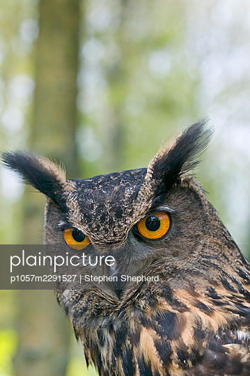A portrait of a  European Eagle Owl clearly showing the huge eyes and plummage of this magnificent bird. - p1057m2291527 by Stephen Shepherd