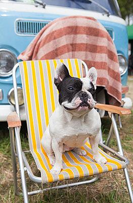 Französische Bulldogge gemütlich auf Campingstuhö - p045m2005011 von Jasmin Sander