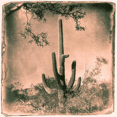 Saguaro - p1154m948076 by Tom Hogan
