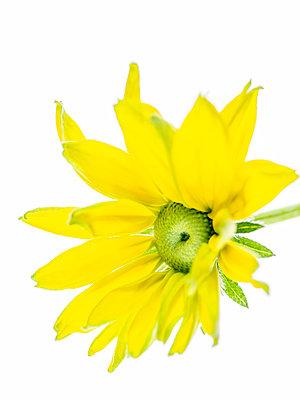 Rudbeckia Blossom - p401m2224608 by Frank Baquet