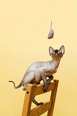 Sphynx kitten looks up in the grey soft mouse toy - p1166m2095074 by Cavan Images