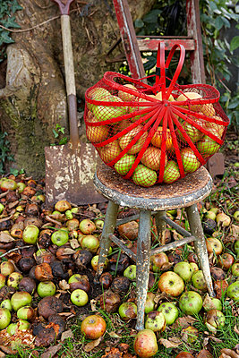 Basket of apples on stool with spade in Isle of Wight garden;  UK - p349m920024 by Rachel Whiting