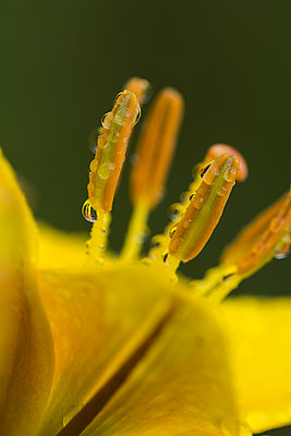 Rain drops cling to the stamens of a lily; Astoria, Oregon, United States of America - p442m2032172 by Robert L. Potts