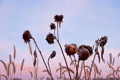 Sere sunflowers - p533m1573830 by Böhm Monika