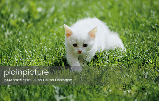 Weißes Kätzchen - p1418m1571162 von Jan Håkan Dahlström