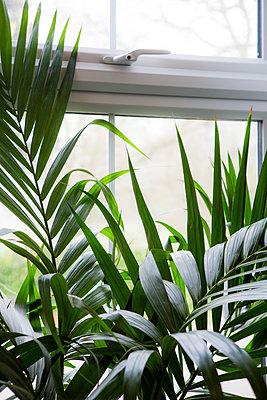 Zimmerpflanze am Fenster - p1057m1222777 von Stephen Shepherd