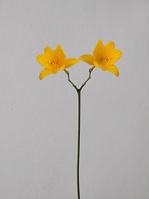 Zwillingsblume - p444m1041396 von Müggenburg