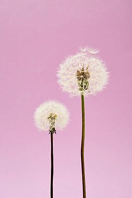 Zwei Pusteblumen - p464m2186066 von Elektrons 08