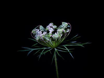 Blütenkelch einer Wiesenblume - p885m2173731 von Oliver Brenneisen