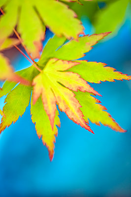 Close-up of red edged light green acer leaves above blue colour - p1047m2288947 by Sally Mundy