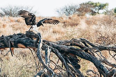 Adler auf einem Ast, Kalahari, Südafrika - p1065m982610 von KNSY Bande