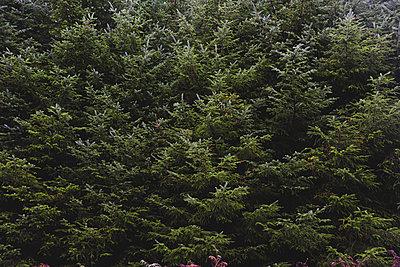 United Kingdom, England, Cumbria, Lake District, fir trees, close up - p300m2013219 von William Perugini