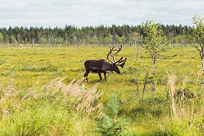 Finland, Lapland, elk walking in rural landscape - p300m2060770 by Kike Arnaiz