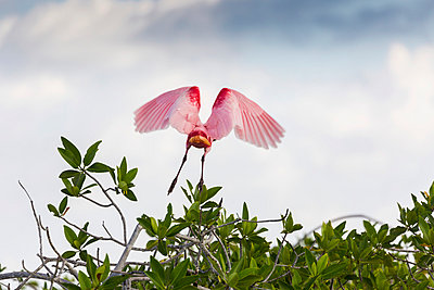 Roseate Spoonbill  in flight off a mangrove shrub with clouds and blue sky; Tulum, Quintana Roo, Mexico - p442m1033830 by Michael Interisano
