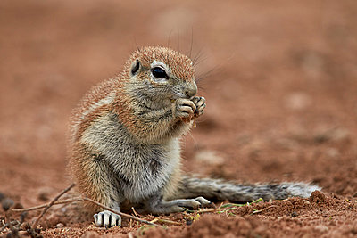 Young Cape ground squirrel  eating, Kgalagadi Transfrontier Park encompassing the former Kalahari Gemsbok National Park, South Africa, Africa - p871m1056796f by James Hager