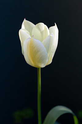 White Tulip - p873m2269920 by Philip Provily