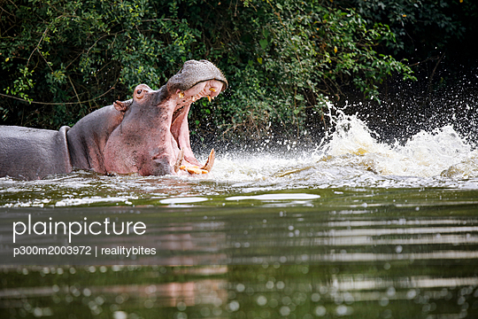 Uganda, Lake Victoria, Hippopotamus in lake with open mouth - p300m2003972 von realitybites