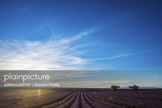 Sun setting over vast lavender field - p300m2293797 by Simona Pilolla